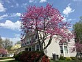 2017-04-14 15 05 20 Redbud in bloom along Ladybank Lane in the Chantilly Highlands section of Oak Hill, Fairfax County, Virginia.jpg