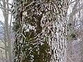 2018-01-28 (170) Tree with parasit at way to Gölsnitzgraben directory Schwerbach in Kirchberg an der Pielach.jpg