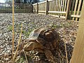 2018-10-20 Galápagos tortoise (Chelonoidis), Trimingham Trosh (4).JPG