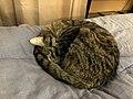 2019-12-09 15 16 55 A Tabby cat sleeping on a bed in the Franklin Farm section of Oak Hill, Fairfax County, Virginia.jpg