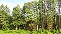 20190524 172045 Trees in Hrodna Region, Belarus. May 2019.jpg