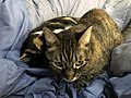 2020-03-22 09 07 28 A Tabby cat and a Calico cat cuddling on a bed in the Franklin Farm section of Oak Hill, Fairfax County, Virginia.jpg