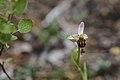 20200611 Ophrys apifera.jpg
