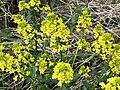 2021-04-12 17 41 04 Yellow mustard flowers along a walking path in the Franklin Farm section of Oak Hill, Fairfax County, Virginia.jpg