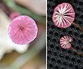 3.marasmius.berteroi - Flickr - Dick Culbert.jpg