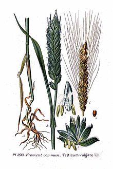 390 Triticum vulgare Vill.jpg