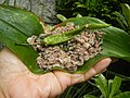 4087Ants Common houseflies foods delicacies of Bulacan 33.jpg