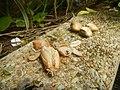 4087Ants Common houseflies foods delicacies of Bulacan 60.jpg