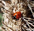7-spot Ladybird. Coccinella 7-punctata - Flickr - gailhampshire.jpg