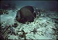 A-grey-angle-fish-swims-in-the-protected-waters-of-john-pennekamp-coral-reef-state-park-near-key-largo 4726904401 o.jpg