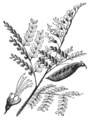 AGTM D119 Brazil wood, leaves, flower and fruit.png