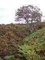 A Glen Artney rowan - geograph.org.uk - 257445.jpg
