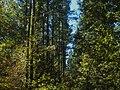 A Row of Pine.jpg