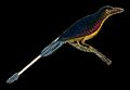 A bird, possibly a raquet-tailed kingfisher. Coloured engrav Wellcome V0022372EL.jpg