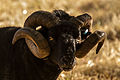 A black hebridian sheep front horns.jpg