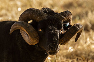 Hebridean sheep - A black hebridian sheep with full grown spiral horns