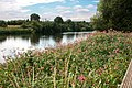 A dense patch of Himalayan Balsam by the Trent - geograph.org.uk - 1979865.jpg