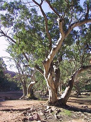 Larapinta Trail - A tree on the Finke River along the Larapinta trail