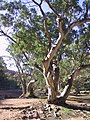 A gum tree on the Finke River along the Larapinta trail, West MacDonnell Ranges, Northern Territory, Australia.jpg