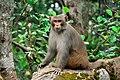 A monkey in sundarbans.jpg
