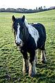 A piebald gypsy pony.jpg