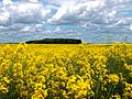 A rapeseed field in the Lincolnshire Vales, South Kesteven, England 5.jpg