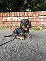 A wire haired dachshund puppy.jpg