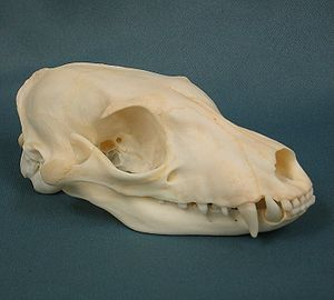 Aardwolf - Aardwolf skull