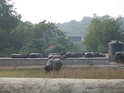Buffaloes grazing in a dairy farm at Aarey