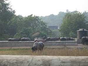 Aarey Milk Colony - Buffaloes grazing in a dairy farm at Aarey