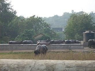 Aarey Milk Colony - Buffaloes grazing in a dairy farm at Aarey