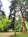 Abies numidica - Botanischer Garten Freiburg - DSC06468.jpg
