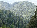 Abies pindrow India25.jpg