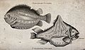 Above, a Pavonian sucker; below, a pyramidal sucker. Engravi Wellcome V0022060.jpg