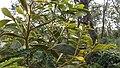 Acacia koa study 6.jpg