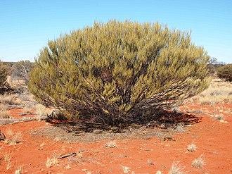 Acacia ramulosa - A. ramulosa habit