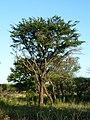 Acacia robusta, Springbokvlakte.jpg