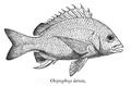 Acanthopagrus latus Day.png