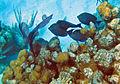Acanthurus coeruleus (blue tang) (San Salvador Island, Bahamas) 4 (15964039649).jpg