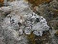 Acarospora nodulosa (Dufour) Hue 203934.jpg