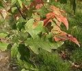 Acer griseum Blatt.jpg