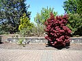 Acer palmatum (33757557230).jpg