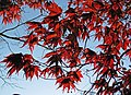 Acer palmatum (Japanese maple tree) (Newark, Ohio, USA) 1 (17170501100).jpg