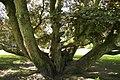 Acer pseudoplatanus 'Atropurpureum' JPG1c.jpg