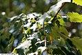 Acer rubrum 23zz.jpg