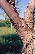 Acer saccharinum trunk.jpg