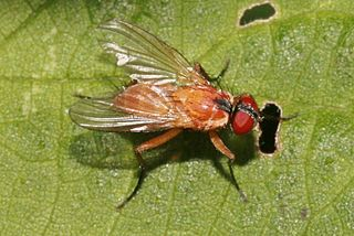 <i>Achanthiptera rohrelliformis</i> species of insect