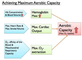 Blood doping - Fig. 1 Achieving Maximum Aerobic Capacity