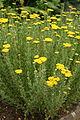 Achillea ageratum - Botanischer Garten Mainz IMG 5620.JPG