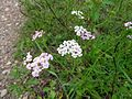 Achillea millefolium 03.JPG